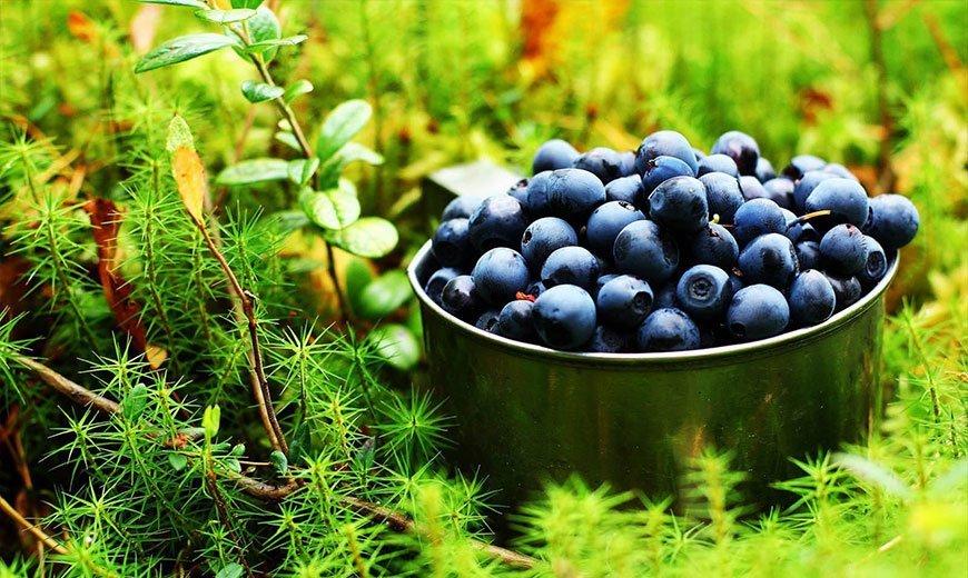 Черника садовая – посадка, выращивание, польза