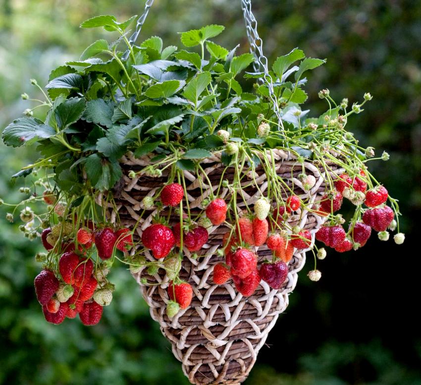 Цветы для кашпо: ампельные растения в оформлении придомовых участков