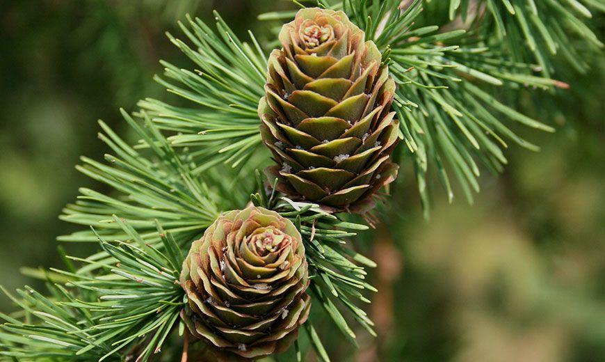 Хвойные растения - виды, классы, строение