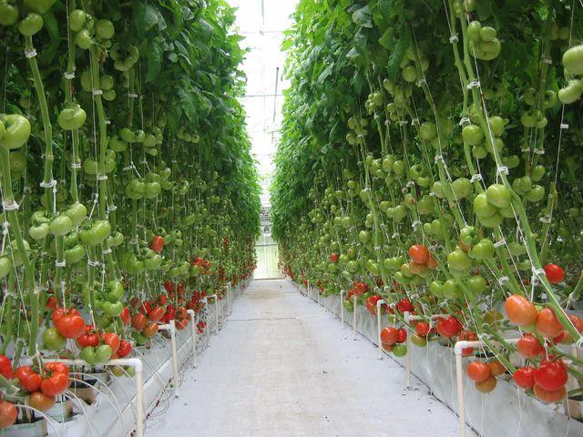 Как выращивать помидоры в теплице, чтобы был большой урожай