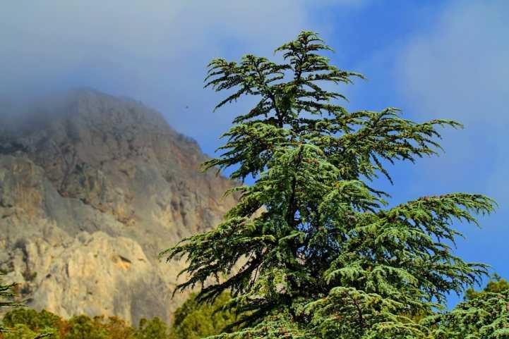 Кедровое дерево: 130 фото примеров красивого использования в оформлении сада или придомового участка