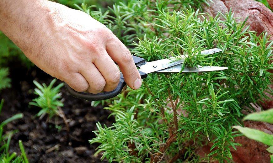Розмарин – выращивание, свойства, применение