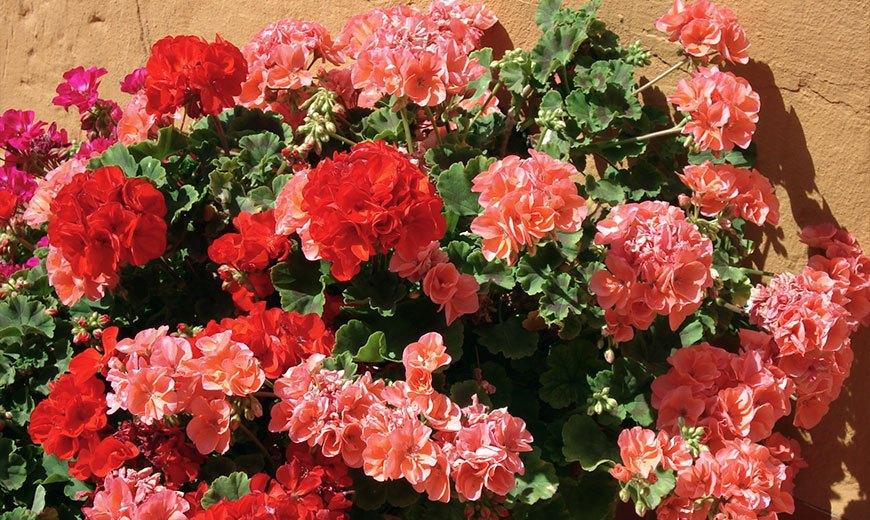Условия цветения герани и способы заставить герань цвести