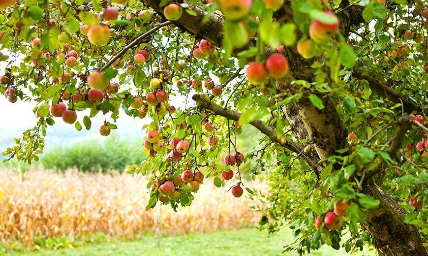 Яблони - описание, посадка, уход, как выбирать саженцы яблонь